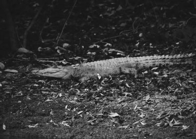 cape-york-crocodile