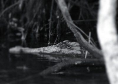 crocodile-australia